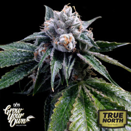 Lemon Walker FEMINIZED Seeds (DNA Genetics - Grow Your Own)
