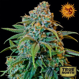 Liberty Haze Feminized Seeds (Barney's Farm)