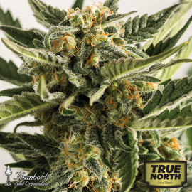 Lost Coast Skunk Auto Feminized Seeds (Humboldt Seed Org)