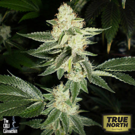 Louis XIII OG FEMINIZED Seeds (Cali Connection)