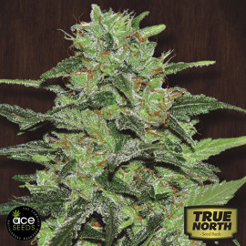 Malawi Regular Seeds (Ace Seeds)