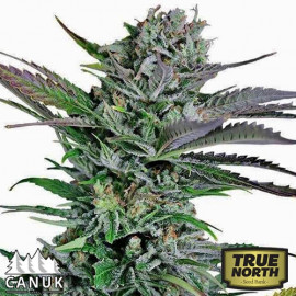 Mango Merengue Feminized Seeds (Canuk Seeds)