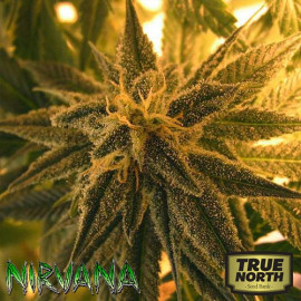 Mango Skunk REGULAR Seeds (Nirvana Seeds)
