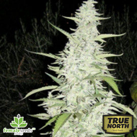 Maroc Feminized Seeds (Female Seeds)