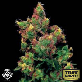 Midnight Kush FEMINIZED Seeds (G13 Labs)