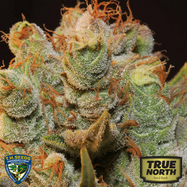 MK-Ultra Kush x Bubble Feminized Seeds (T.H. Seeds)