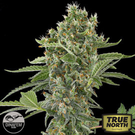 Moby Dick Automatic Feminized Seeds (Dinafem)