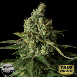 Moby Dick CBD Feminized Seeds (Dinafem)