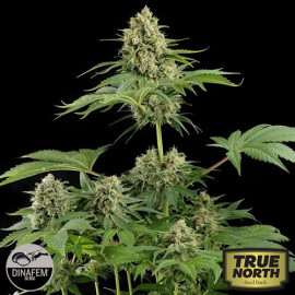Moby Dick Feminized Seeds (Dinafem)