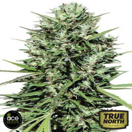 Moroccan Beldia Kif Regular Seeds (Ace Seeds)