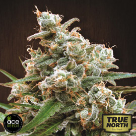 Nepal Jam Breeders Pack FEMINIZED Seeds (Ace Seeds)