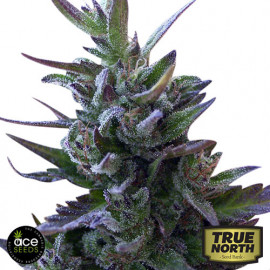 Nepal Mist REGULAR Seeds (Ace Seeds)