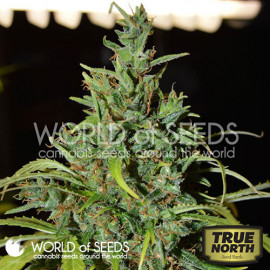 Neville Haze Ryder Auto Feminized Seeds (World of Seeds)
