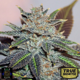 Night Nurse REGULAR Seeds (BC Bud Depot)