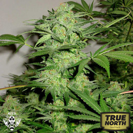 NL AUTOMATIC FEMINIZED Seeds (G13 Labs)