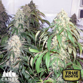 Northern Lights Regular Seeds (Canuk Seeds)