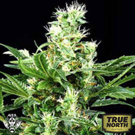 Northern Lights x Skunk FEMINIZED Seeds (G13 Labs)