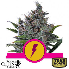 North Thunderfuck Feminized Seeds (Royal Queen Seeds)