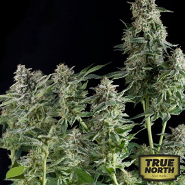 Northern Lights FEMINIZED Seeds (Pyramid Seeds)