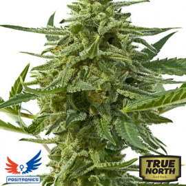 Northern Haze Express AUTOFLOWERING FEMINIZED Seeds (Positronics Seeds)