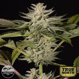 Ocean Grown Cookies Feminized Seeds (Dinafem)