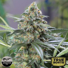 OG Kush CBD Feminized Seeds (Dinafem)