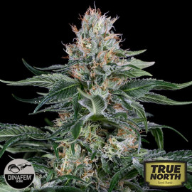 Orange Juice Feminized Seeds (Dinafem)