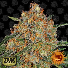 Orange Sherbert Feminized Seeds (Barney's Farm)