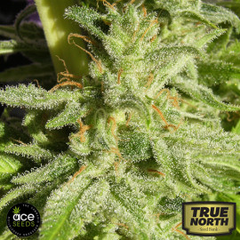 Orient Express Regular Seeds (Ace Seeds)