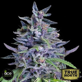 Orient Express x Nepal Jam FEMINIZED Seeds (Ace Seeds)  * Until Supplies Last*