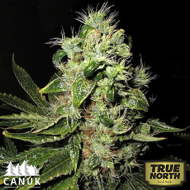 Original Afghani #1 Regular Seeds (Canuk Seeds)