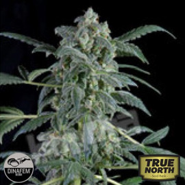 Original Amnesia Automatic Feminized Seeds (Dinafem)