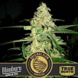 Original Clon Feminized Seeds (BlimBurn Seeds)