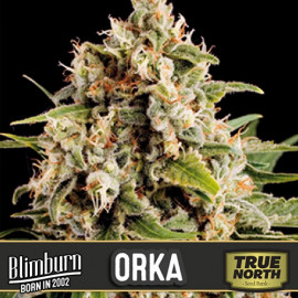 Orka Feminized Seeds (BlimBurn Seeds)