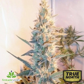 Outdoor Grapefruit Feminized Seeds (Female Seeds)