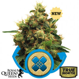 Painkiller XL Feminized Seeds (Royal Queen Seeds)