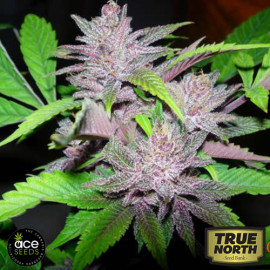 Pakistan Chitral Kush Regular Seeds (Ace Seeds)