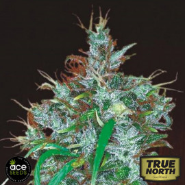 Panama Haze Feminized Seeds (Ace Seeds)