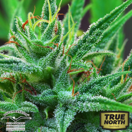 Passion #1 REGULAR Seeds (Dutch Passion)