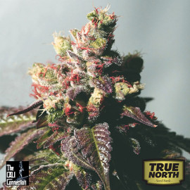 Passion Berry FEMINIZED Seeds (Cali Connection)