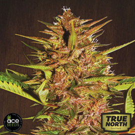 Pakistan Chitral Kush Breeders Pack REGULAR Seeds (Ace Seeds)