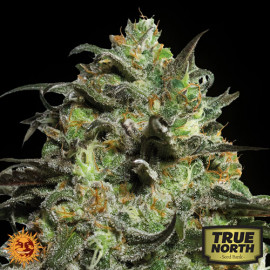 Peyote Cookies Feminized Seeds (Barney's Farm)