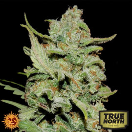 Peyote Critical Limited Edition Feminized Seeds (Barney's Farm)