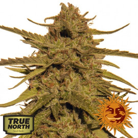 Pineapple Haze REGULAR Seeds (Barney's Farm)