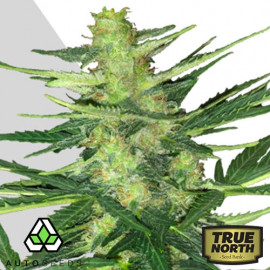 AUTO Polar Express FEMINIZED Seeds (Auto Seeds)