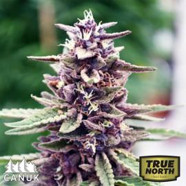 Purpura Uno CBD Regular Seeds (Canuk Seeds) *While Supplies Last*