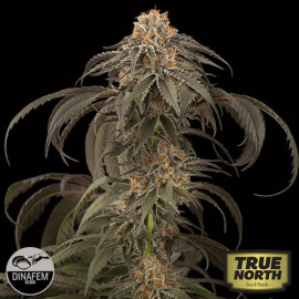 Purple Afghan Kush Feminized Seeds (Dinafem)