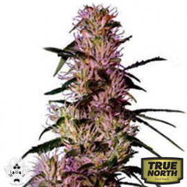 Purple Haze FEMINIZED Seeds (G13 Labs)