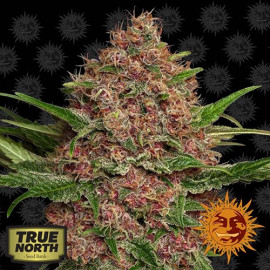 Purple Punch Auto Feminized Seeds (Barney's Farm)