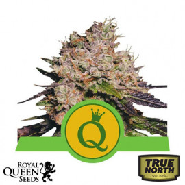Purple Queen Automatic Feminized Seeds (Royal Queen Seeds)